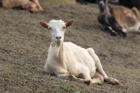 Bearded white goat resting in the pasture