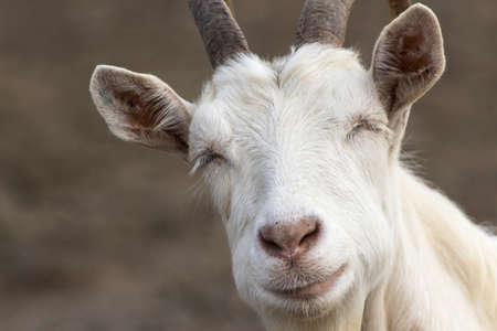 Portrait of white funny horned sleepy goat Reklamní fotografie