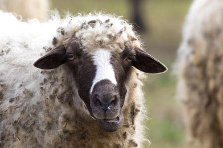 Portrait of funny sheep on the autumn pasture Reklamní fotografie