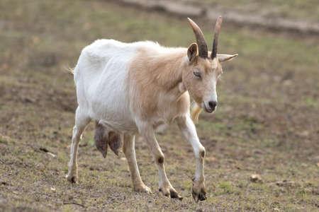 White goat with big udder full of milk Reklamní fotografie