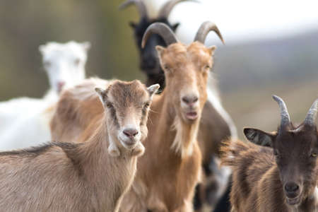 Flock of funny face goats on the pasture