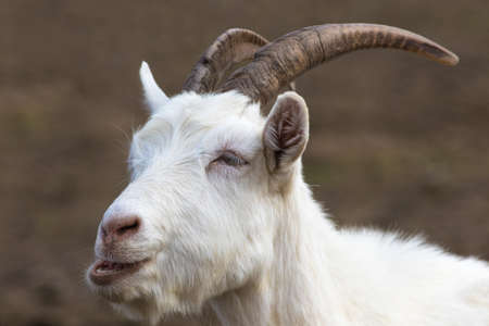 Portrait of white horned funny capricorn with beard