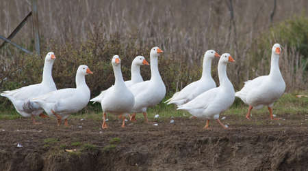 Flock of white domestic geese on the pasture
