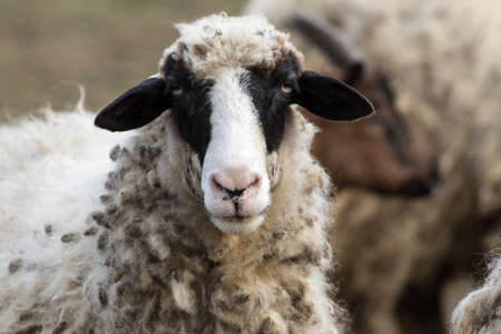 Portrait of funny black head sheep in the flock