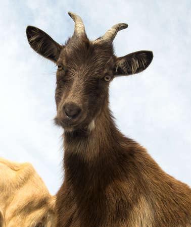 Portrait of  horned brown funny goat over sky Reklamní fotografie