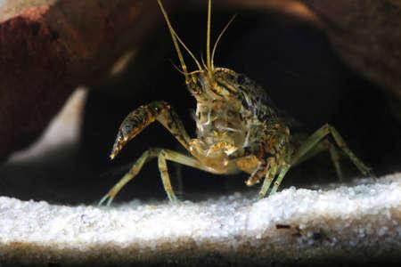 Pest marmorkrebs, Procambarus fallax forma virginalis in the pond Reklamní fotografie