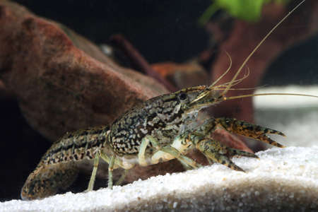 Aquarium pet marbled crayfish, Procambarus fallax forma virginalis in the pond Reklamní fotografie