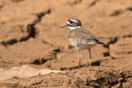 Killdeer (Charadrius vociferus) is a medium-sized plover on cracked ground Reklamní fotografie