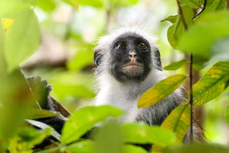 Portrait of red colobus monkey (Piliocolobus kirkii) Zanzibar