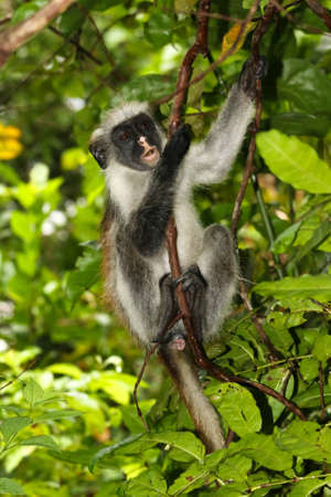 Rare endangered red colobus monkey (Piliocolobus kirkii) Zanzibar