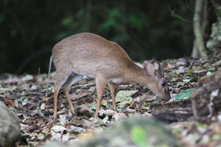 Endangered species antelope Aderss duiker, Cephalophus adersi in Jozani rainforest