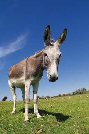 Wild cute donkey on the spring meadow