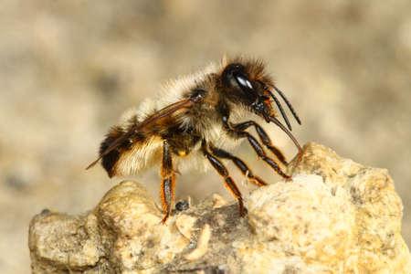 Red mason bee, Osmia rufa, pollinator on the soil Banco de Imagens