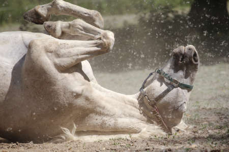 White hapy mare bathes in the dust Banco de Imagens