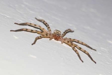 Big creeapy Huntsman spider Eusparassus walckenaeri on white Stock Photo