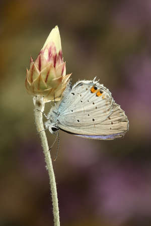 Butterfly on a bud Short-tailed blue, Cupido argiades on the pink background Stock Photo