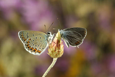 Two butterflies on a bud, Reverdin's blue and Short-tailed blue Stock Photo