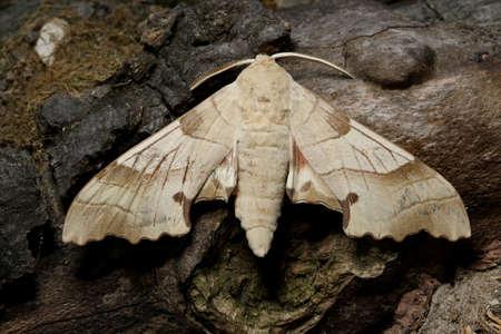 Oak hawk-moth, Marumba quercus on the branch Stock Photo