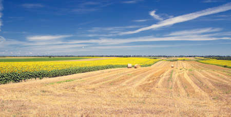 Sunflower field and round hay bales panorama landscape