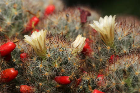 Texas nipple cactus Mammillaria prolifera  flower and fruits