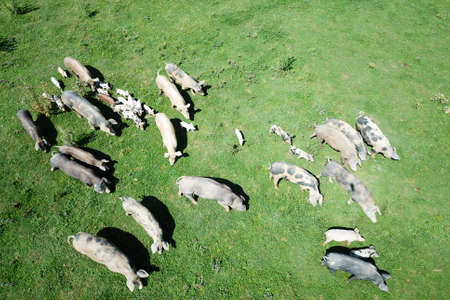 Top view of herd of pigs in the green meadow