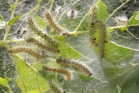Group of of pest fall webworm, Hyphantria cunea eat leaves Standard-Bild