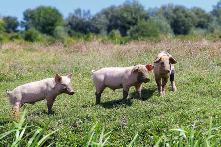 Three pigs with muddy snout the pasture