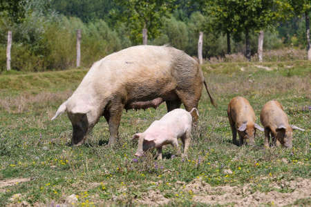 Big sow with three pigs in a pasture