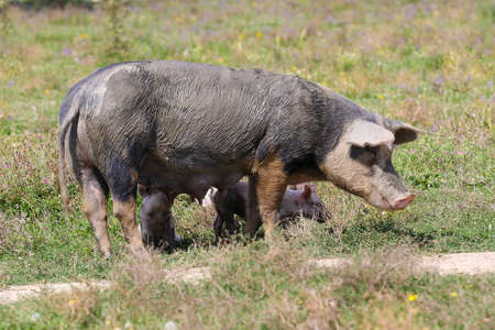 Big muddy sow with three pigs in a meadow