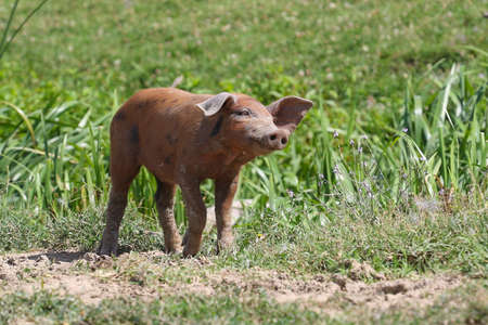 Curious cute brown small pig in the pasture Standard-Bild
