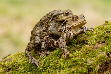 European Common toad, Bufo bufo mating on the grass Standard-Bild