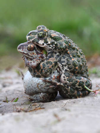 Funny unnatural mating of Common spadefoot toad, Pelobates fuscus with  European green toad Bufo viridis