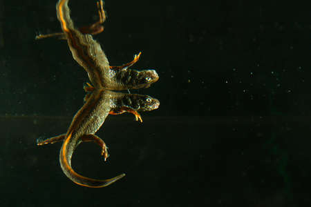 Danube crested newt, Triturus dobrogicus in black water with the reflection