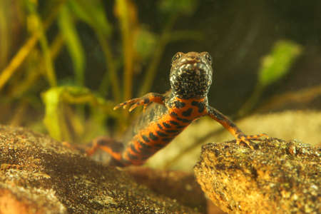 Red-bellied amphibian Danube crested newt, Triturus dobrogicus in the pond Standard-Bild