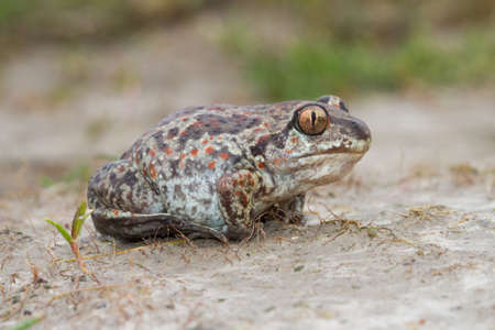 Common Spadefoot toad Pelobates fuscus on the field Standard-Bild