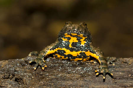 Yellow-bellied toad, Bombina variegata on the trunk