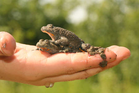The boy holds two mating european Fire-bellied toad in his hand