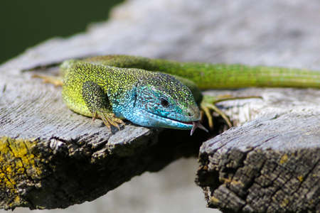 Portrait of European Green Lizard, Lacerta viridis male at mating season