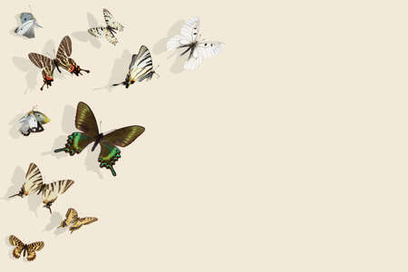 Varius Colorfu swallowtail butterflies in flight and shadows on Set Sail Champagne background Banque d'images