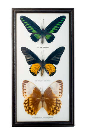Framed set of three butterflies: Burmese jungle queen, rajah brooke's  birdwing and  goolden birdwing on white