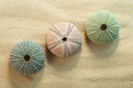 Top view of three green and pink black sea urchin shells, arbacia lixula on sand Banque d'images