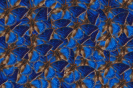 Top view of  tropical Western blue charaxes butterflies, Charaxes smaragdalis pattern