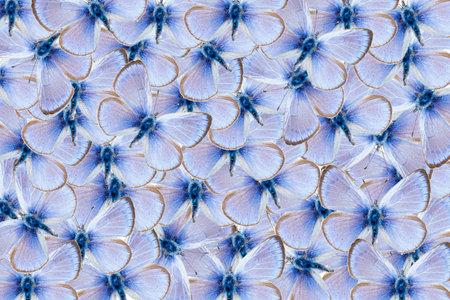 Pattern of  green underside blue butterflies, Glaucopsyche alexis Banque d'images