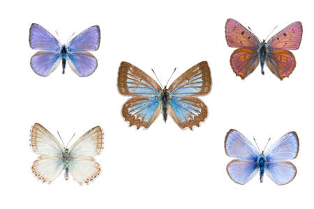 Collection of five european blue butterflies on white  background