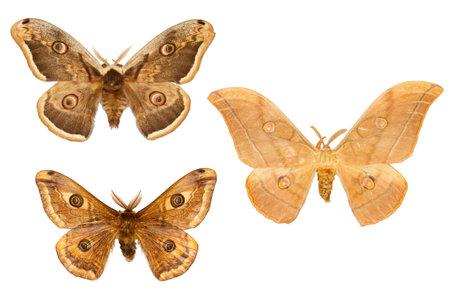 Set of three peacock moth on white