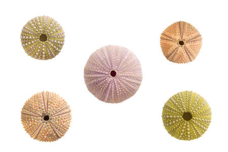 Five sea urchins shells pattern on white background Banque d'images