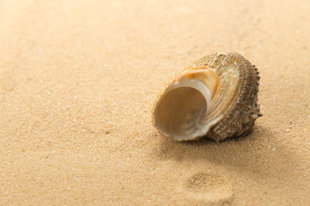 Round Sea snail shell on the tropical yellow sandy beach
