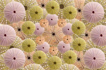 Top view of green, pink and rose  Sea urchins shells pattern