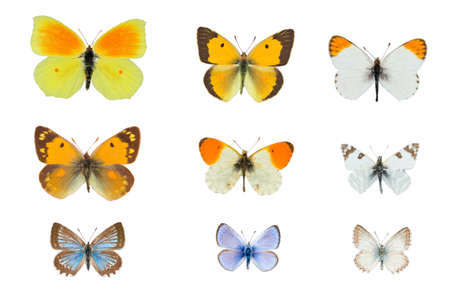 Collection of nine yellow and blue butterflies on white