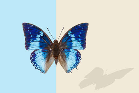 Tropical western blue charaxes; charaxes smaragdalis, butterfly with shadow on blue and champagne background